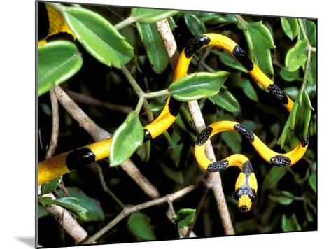 Snake, Western Desciduous Forests, Madagascar-Pete Oxford-Mounted Photographic Print