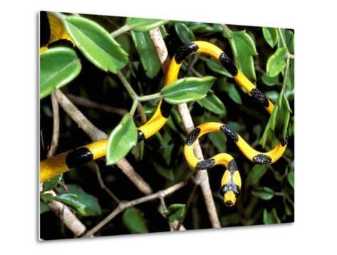 Snake, Western Desciduous Forests, Madagascar-Pete Oxford-Metal Print