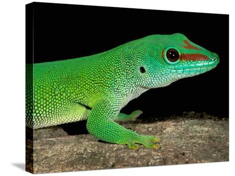 Day Gecko, Ankarana Special Reserve, Madagascar-Pete Oxford-Stretched Canvas Print