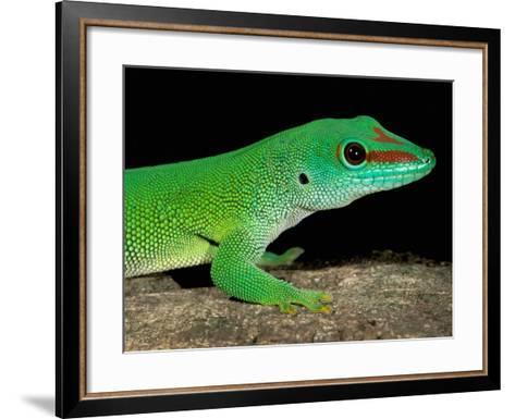 Day Gecko, Ankarana Special Reserve, Madagascar-Pete Oxford-Framed Art Print