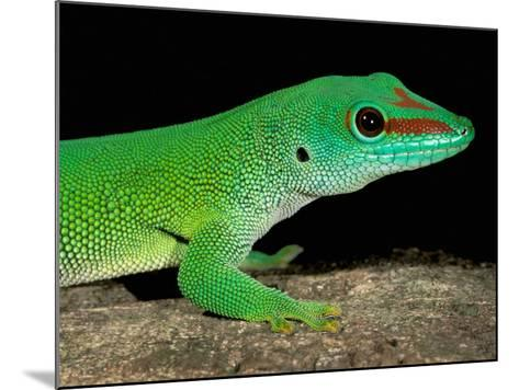 Day Gecko, Ankarana Special Reserve, Madagascar-Pete Oxford-Mounted Photographic Print