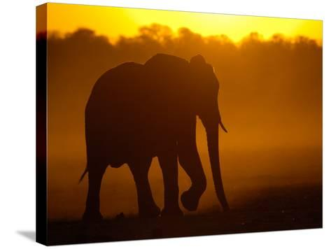 African Elephant at Sunset, Makalolo Plains, Hwange National Park, Zimbabwe-Pete Oxford-Stretched Canvas Print