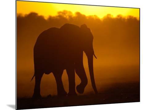 African Elephant at Sunset, Makalolo Plains, Hwange National Park, Zimbabwe-Pete Oxford-Mounted Photographic Print