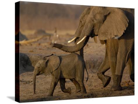 African Elephants, Makalolo Plains, Hwange National Park, Zimbabwe-Pete Oxford-Stretched Canvas Print