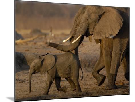 African Elephants, Makalolo Plains, Hwange National Park, Zimbabwe-Pete Oxford-Mounted Photographic Print