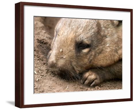 Southern Hairy Nosed Wombat, Australia-David Wall-Framed Art Print