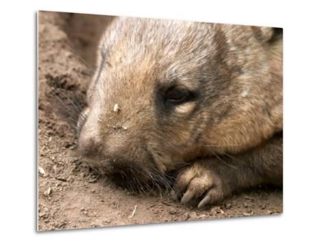 Southern Hairy Nosed Wombat, Australia-David Wall-Metal Print