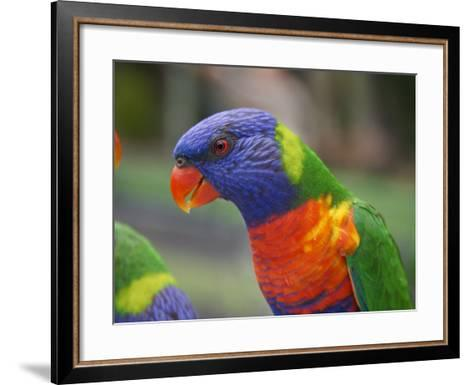 Rainbow Lorikeet, Australia-David Wall-Framed Art Print