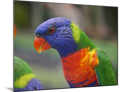 Rainbow Lorikeet, Australia-David Wall-Mounted Photographic Print
