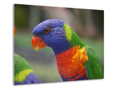 Rainbow Lorikeet, Australia-David Wall-Metal Print