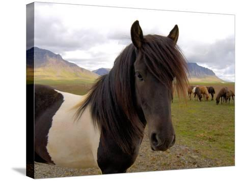 Icelandic Horses, Iceland-Lisa S^ Engelbrecht-Stretched Canvas Print