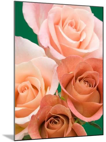 Roses-Jamie & Judy Wild-Mounted Photographic Print
