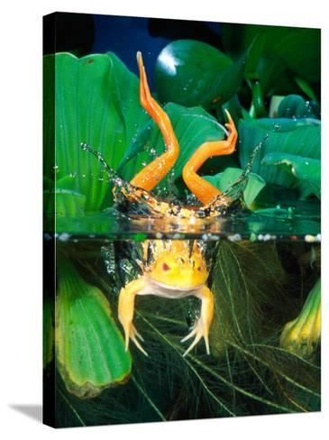 Albino Bull Frog Diving-David Northcott-Stretched Canvas Print