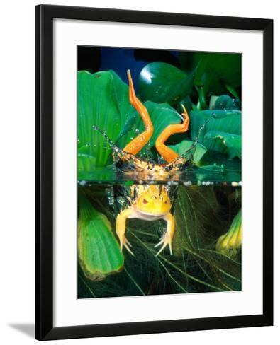 Albino Bull Frog Diving-David Northcott-Framed Art Print