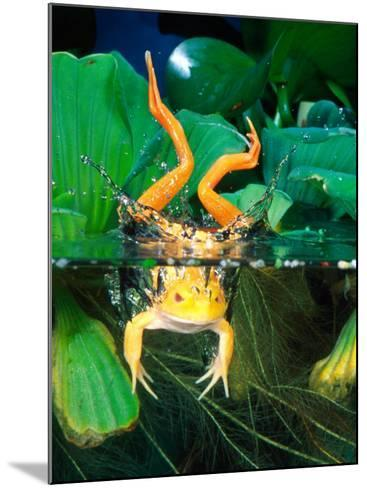 Albino Bull Frog Diving-David Northcott-Mounted Photographic Print