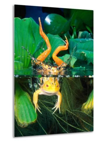Albino Bull Frog Diving-David Northcott-Metal Print