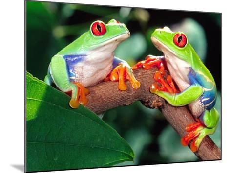 Red Eye Tree Frog Pair, Native to Central America-David Northcott-Mounted Photographic Print