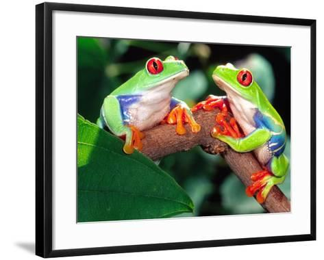 Red Eye Tree Frog Pair, Native to Central America-David Northcott-Framed Art Print