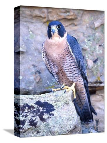 Peregrine Falcon in Flight, Native to USA-David Northcott-Stretched Canvas Print
