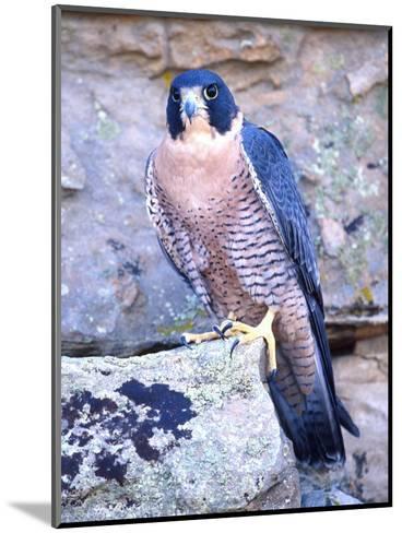 Peregrine Falcon in Flight, Native to USA-David Northcott-Mounted Photographic Print