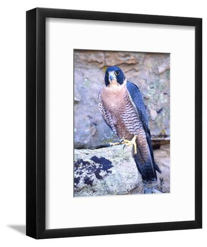 Peregrine Falcon in Flight, Native to USA-David Northcott-Framed Art Print