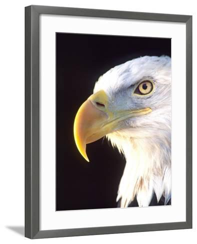 Bald Eagle Portrait, Native to USA and Canada-David Northcott-Framed Art Print