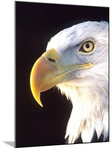 Bald Eagle Portrait, Native to USA and Canada-David Northcott-Mounted Photographic Print