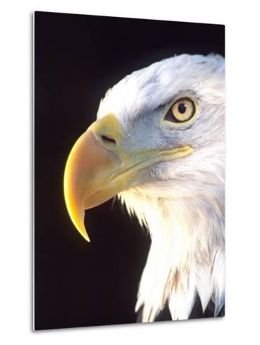 Bald Eagle Portrait, Native to USA and Canada-David Northcott-Metal Print