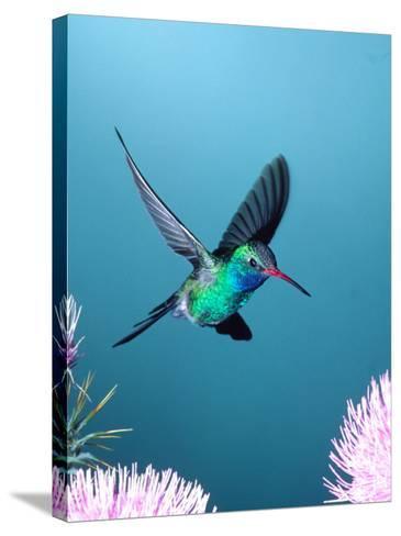 Broad-billed Hummingbird, Arizona, USA-David Northcott-Stretched Canvas Print