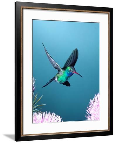 Broad-billed Hummingbird, Arizona, USA-David Northcott-Framed Art Print
