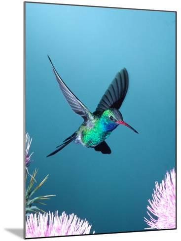 Broad-billed Hummingbird, Arizona, USA-David Northcott-Mounted Photographic Print