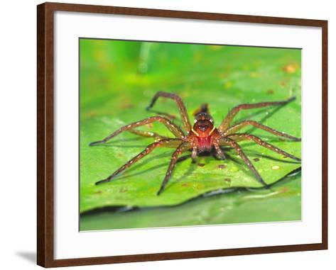 Six Spotted Fishing Spider Feeding on Fly, Pennsylvania, USA-David Northcott-Framed Art Print