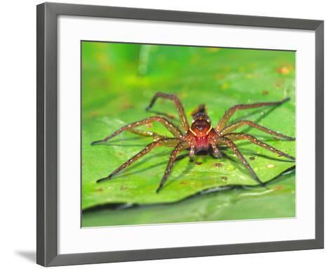 Six Spotted Fishing Spider Feeding on Fly, Pennsylvania, USA-David Northcott-Framed Art Print
