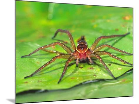 Six Spotted Fishing Spider Feeding on Fly, Pennsylvania, USA-David Northcott-Mounted Photographic Print