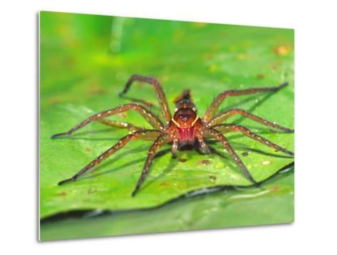 Six Spotted Fishing Spider Feeding on Fly, Pennsylvania, USA-David Northcott-Metal Print