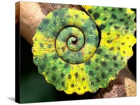 Meller's Chameleon Tail, Native to Tanzania-David Northcott-Stretched Canvas Print