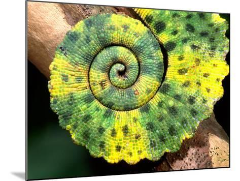 Meller's Chameleon Tail, Native to Tanzania-David Northcott-Mounted Photographic Print
