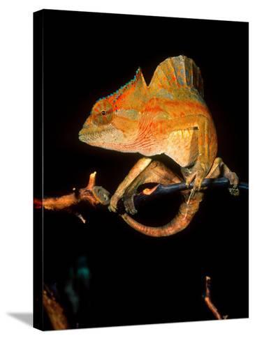 Crested Chameleon, Native to Camerouns-David Northcott-Stretched Canvas Print