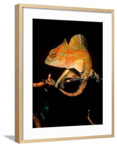 Crested Chameleon, Native to Camerouns-David Northcott-Framed Art Print