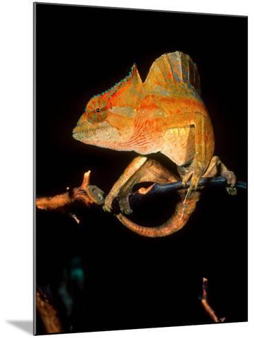 Crested Chameleon, Native to Camerouns-David Northcott-Mounted Photographic Print