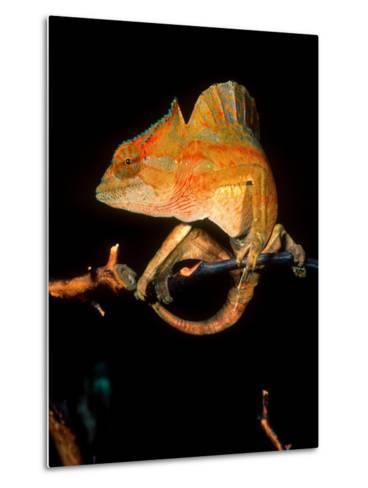 Crested Chameleon, Native to Camerouns-David Northcott-Metal Print