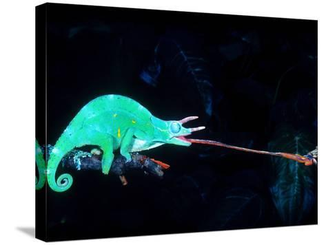 Three-horned Chameleon Capturing a Cricket, Native to Camerouns-David Northcott-Stretched Canvas Print