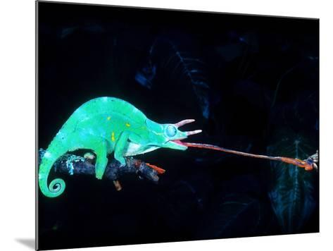 Three-horned Chameleon Capturing a Cricket, Native to Camerouns-David Northcott-Mounted Photographic Print