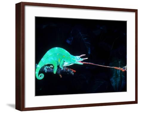Three-horned Chameleon Capturing a Cricket, Native to Camerouns-David Northcott-Framed Art Print