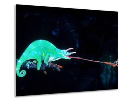 Three-horned Chameleon Capturing a Cricket, Native to Camerouns-David Northcott-Metal Print