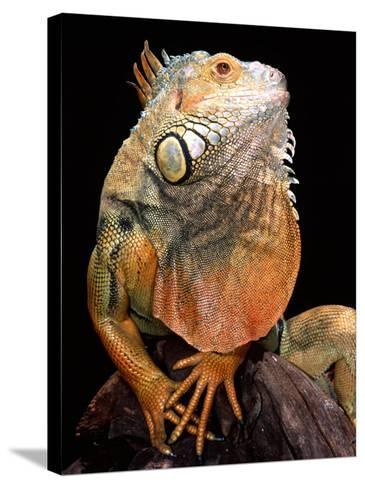 Green Iguana-David Northcott-Stretched Canvas Print