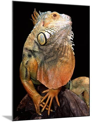 Green Iguana-David Northcott-Mounted Photographic Print