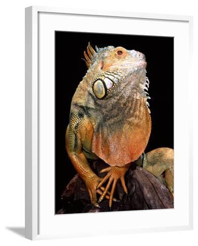 Green Iguana-David Northcott-Framed Art Print