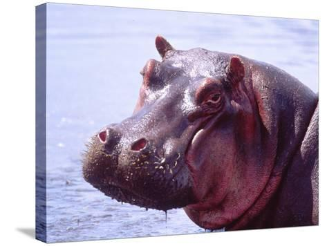 Large Hippo Portrait, Tanzania-David Northcott-Stretched Canvas Print
