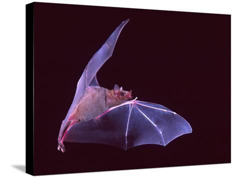 Sanborn's Long-nosed Bat, Arizona, USA-David Northcott-Stretched Canvas Print
